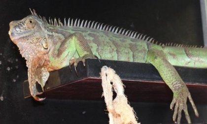 Iguana abbandonata cerca padrone: l'appello di Enpa Milano