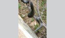 Il video del serpente che voleva a tutti i costi essere un animale da giardino